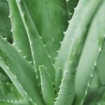 aloe vera for crohn's disease