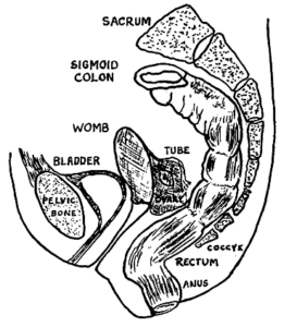 Diagram showing female organs in relation to colon